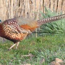 Pheasant (23)