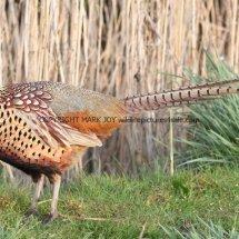 Pheasant (24)