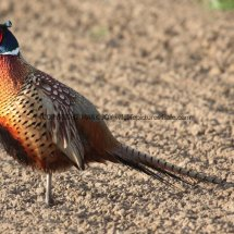 Pheasant (25)