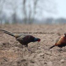 Pheasant (26)