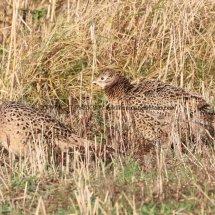Pheasant (28)