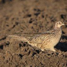 Pheasant (29)
