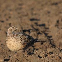 Pheasant (30)