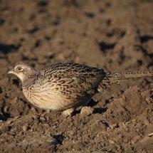 Pheasant (31)