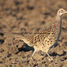 Pheasant (32)