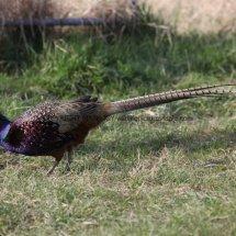 Pheasant (34)