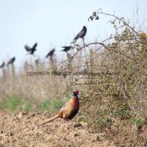 Pheasant (37)