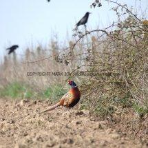 Pheasant (5)