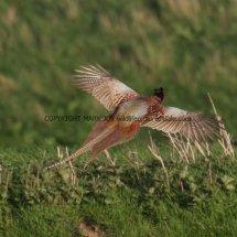 Pheasant (6)