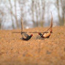 Pheasant (9)