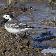 Pied Wagtail (1)