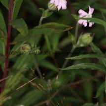 Pink Campion (Silene x hampeana)