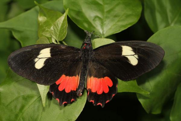 Pink Cattleheart Transandean butterfly (Parides iphidamas) 1 (3)
