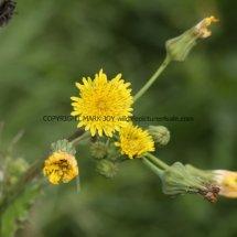 Prickly Sow-thistle (Sonchus asper) (3)