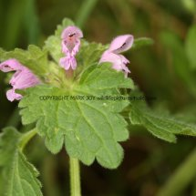 Purple Dead Nettle (Lamium purpureum) (1)