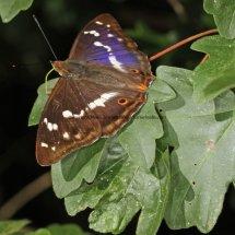 Purple Emperor (10)