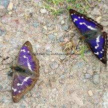 Purple Emperor (16)