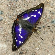 Purple Emperor (17)