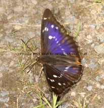 Purple Emperor aberration 23.7.2012 (2)