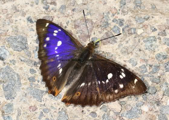 Purple Emperor aberration 23.7.2012 (5)