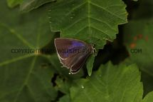 Purple Hairstreak (6)