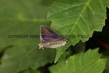 Purple Hairstreak (7)
