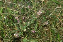Red Bartsia (1)