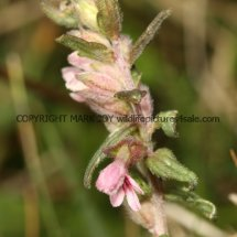 Red Bartsia (2)