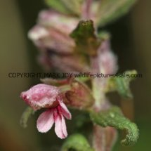 Red Bartsia (3)