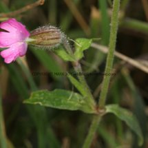 Red Campion (Silene dioica) (2)
