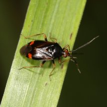 Red Spotted Plant Bug (Deraeocoris Ruber)