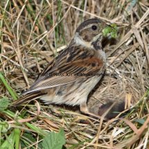 Reed Bunting 77 (2)