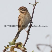 Reed Bunting (7)