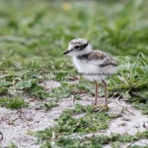 Ringed Plover young (1)