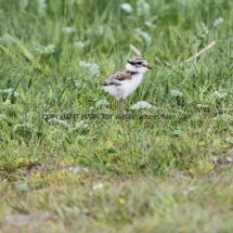 Ringed Plover young (2)