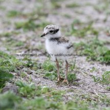 Ringed Plover young (3)