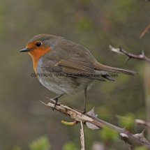 Robin 223