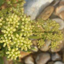 Rock Samphire (Crithmum maritimum) (3)