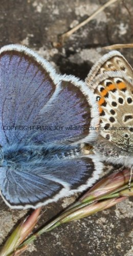 SILVER STUDDED BLUE (Great  Orme) ssp Caernensis (11)