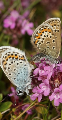 SILVER STUDDED BLUE (Great  Orme) ssp Caernensis (13)