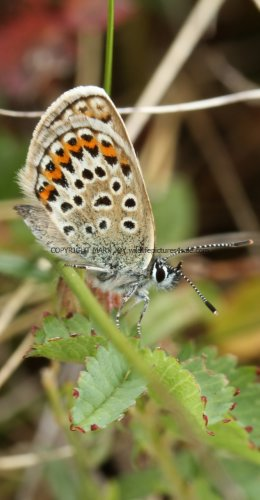 SILVER STUDDED BLUE (Great  Orme) ssp Caernensis (15)