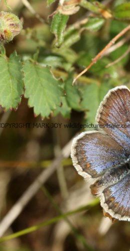 SILVER STUDDED BLUE (Great  Orme) ssp Caernensis (16)