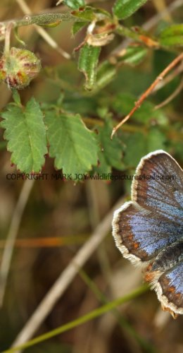 SILVER STUDDED BLUE (Great  Orme) ssp Caernensis (17)