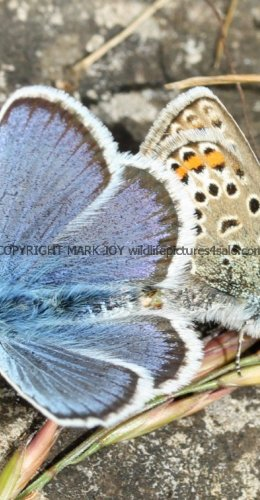 SILVER STUDDED BLUE (Great  Orme) ssp Caernensis (2)