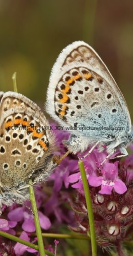 SILVER STUDDED BLUE (Great  Orme) ssp Caernensis (4)