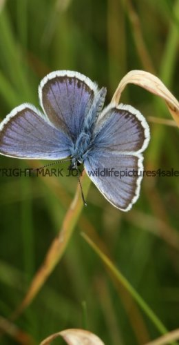 SILVER STUDDED BLUE (Great  Orme) ssp Caernensis (8)