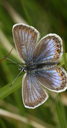 SILVER STUDDED BLUE (Great  Orme) ssp Caernensis (9)