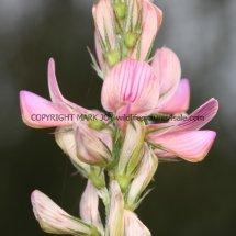 Sainfoin (Onobrychis viciifolia) (3)