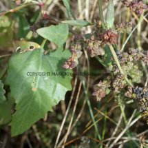 Saltmarsh Goosefoot (Chenopodium chenopodioides) (1)
