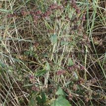 Saltmarsh Goosefoot (Chenopodium chenopodioides) (3)